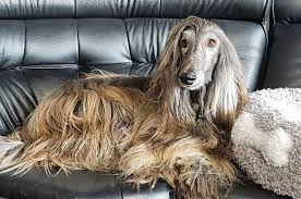 afghan hound look alike breeds 23 afghan hounds that are more glam than you