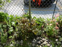 chain link trellis bad plants for chain link gardens