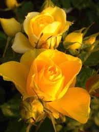 yellow roses u2026 pinteres u2026
