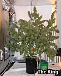 best light to grow pot 213 best autoflowers images on pinterest killing weeds plants and