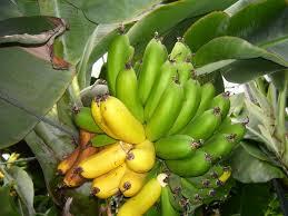 Tiny Banana Banana Production In Iceland Wikipedia