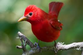 pictures of red birds from around the globe