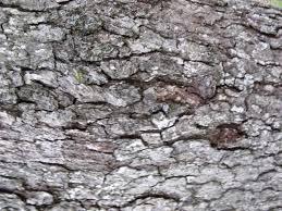 White Oak Tree Bark Bio Project 44 White Oak Tree Taxonomy