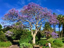 The Royal Botanic Gardens Cherry Blossom Picture Of The Royal Botanic Garden Sydney