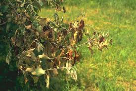 Green Chilli Plant Diseases - antibiotics for plant disease control silver bullets or rusty sabre