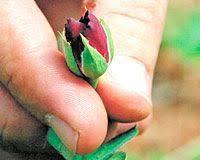 Black Rose Flower Rare Black Rose U0027 Only Grows In A Village In Turkey