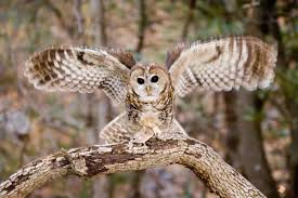 North American Barn Owl Spotted Owl Audubon Field Guide
