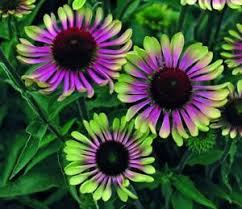 echinacea flower green coneflower echinacea purpurea year
