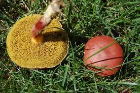 nh notes a diverse array of mushrooms in the backyard u2013 naturalis