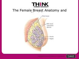 Female Breast Anatomy And Physiology Copyright 2011 Pearson Education Inc All Rights Reserved