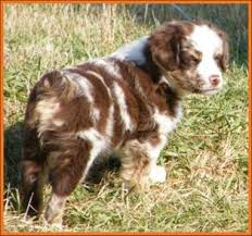 mini australian shepherd 8 weeks mini aussie pup for sale litter 1 paris pup 2 red merle mini