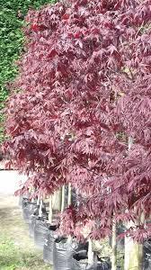 native plants christchurch evergreen nursery large trees christchurch