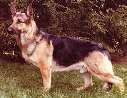 belgian shepherd how much german shepherd faq frequently asked questions