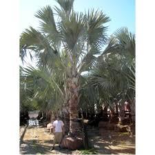 sylvester palm tree sale wholesale palm trees florida palm nursery tree farm landscaper