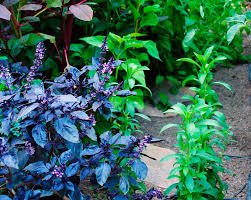 Easy Herbs To Grow Inside by Growing Lavender Learn How To Plant Grow U0026 Care For Lavender