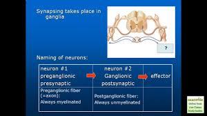Nervous System Human Anatomy Autonomic Nervous System Human Anatomy U0026 Physiology Review