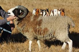australian shepherd herding sheep australian shepherd stories from the farm