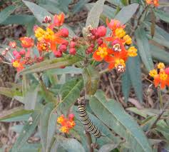 north texas native plants attracting monarch butterflies