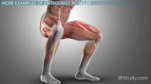 antagonist muscle definition u0026 examples video u0026 lesson