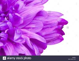 fresh petals fresh violet chrysanthemum flower petals up stock photo