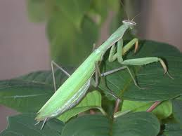 washington state native plants praying mantids u2013 defender of home landscapes gardening in