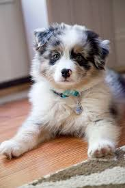 4 week old australian shepherd the 25 best border collie blue merle ideas on pinterest border