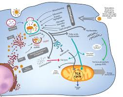 autophagy and lipid metabolism u2013 a cellular platform where