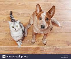australian shepherd with short hair animal friendship british shorthair cat and young australian