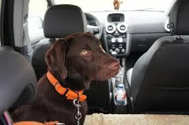 si e voiture si vous prenez votre chien en voiture mettez lui la ceinture de
