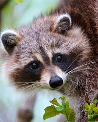 Raccoons In Backyard 698 Best Raccoons Images On Pinterest Animals Wild Animals And