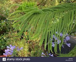 norfolk island pine araucaria heterophylla araucaria excelsa