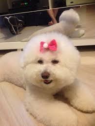 d douglas bichons frise melissa cool pet stuff pinterest bichon frise and dog