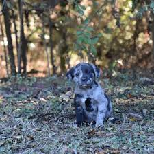 belgian sheepdog massachusetts groton ma catahoula leopard dog meet lizzie a dog for adoption