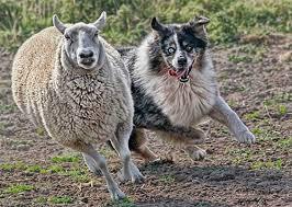 australian shepherd dog dog training tips