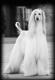 afghan hound blonde i feel a strong loneliness without you elegant afghan hounds