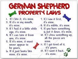 affenpinscher vs german shepherd 282 best german shepherds images on pinterest animals german