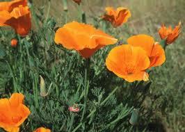 california poppy eschscholzia californica lone pine