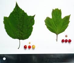 native alaskan plants wild harvests highbush cranberry de befuddled