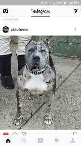 american pitbull terrier jumping 559 best pit bulls images on pinterest american bullies