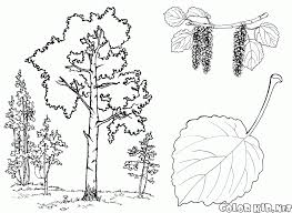 coloring page birch tree