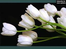 white tulips white tulips beautiful white folwers images phula