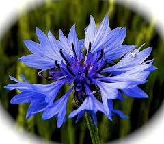 corn flower blue cornflower blue by nicky jevon elaine bruce living foods