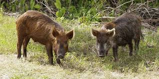 Alabama wildlife images Feral hogs a growing problem in alabama yellowhammer news jpg