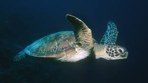 voyage of the lonely turtle sea turtle navigation nature pbs