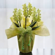 mini plants potted mini yellow phalaenopsis 3 plants jal shopping americas