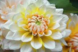seattle flowers dahlia seattle