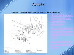 The Anatomy Of The Male Reproductive System Endocrine And Reproductive System Web Quest Ppt Video Online