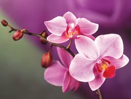 orchids flowers photo collection free orchid flower wallpapers