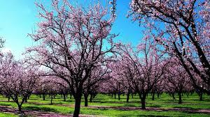 cherry blossom wallpaper 16 photos funmag org