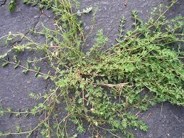 Weed Or Flower Pictures - purslane or spurge abraham u0027s blog